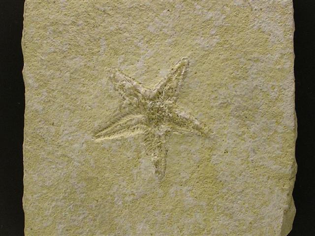 Astropecten elegans Bild ©