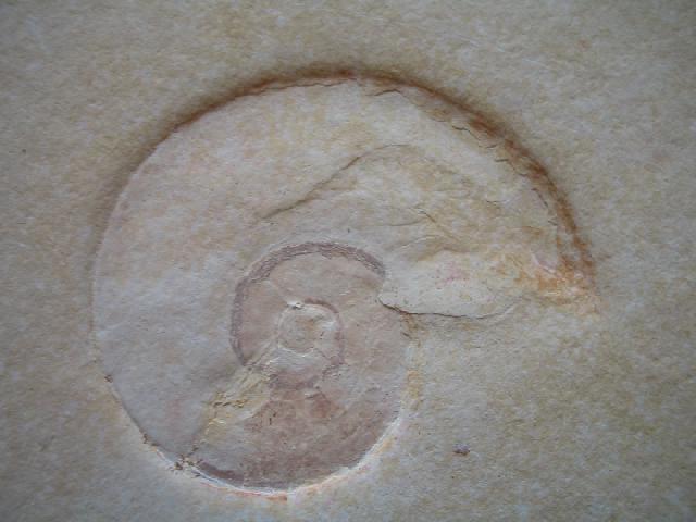Ammonit (Ammonidea) non det. Bild ©