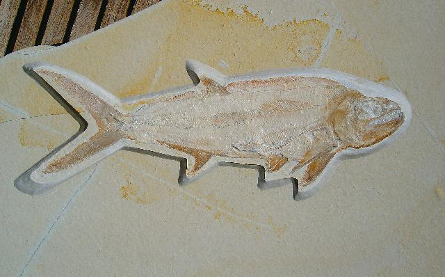 Hypsocormus insignis Bild ©