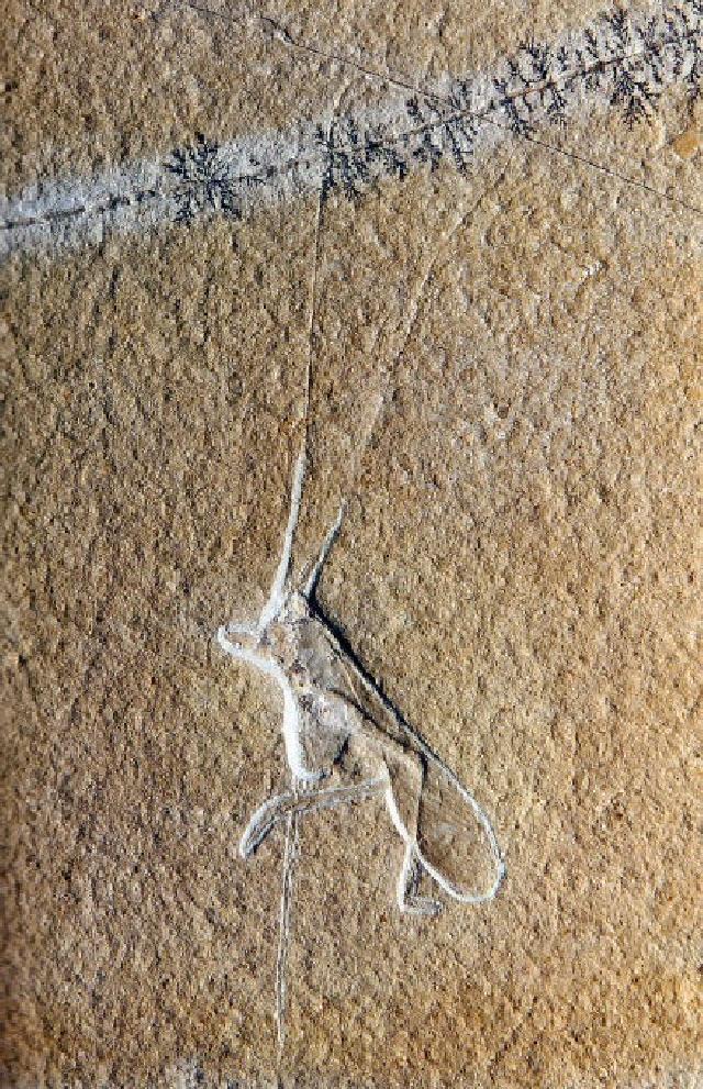 Elcana longicornis Bild ©