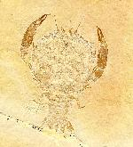 Cycleryon wulfi