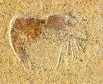 Pleopteryx kuempeli