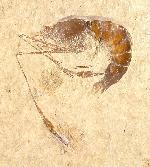 Dusa denticulata