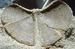 Laevaptychus