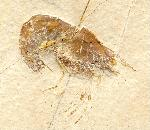 Bylginella hexadon MüNSTER