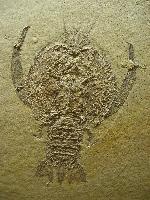 Cycleryon propinquus