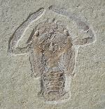 Knebelia bilobata