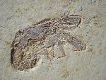 Glyphea pseudoscyllarus