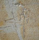 Rhamphorhynchus sp.