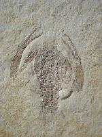 Palaeopentacheles