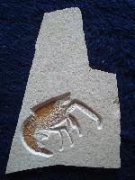 Aeger insignis