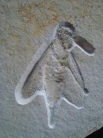 Myrmicium sp.