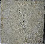 Nadelholzgewächse (Coniferodopsida)
