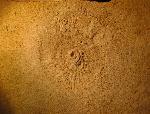 Ammonit (Ammonidea)