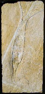 Acanthoteuthis speciosa
