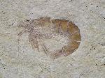 Occultocaris feckei
