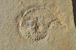 Taramelliceras (Fontanesiella) valentina  (fonntannes)