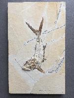 Sauropsis longimanus