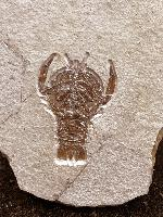 Cycleryon subrotundus