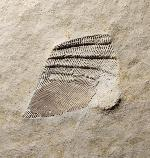 Arcomytilus furcatus MÜNSTER