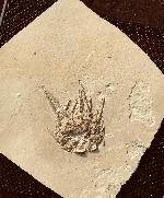 Seeigel (Echinoidea)