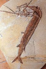 Aspidorhynchus mit Rhamphorhynchus