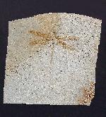 Stenophlebia amphitrite