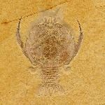 Cycleryon propinquus SCHLOTHEIM