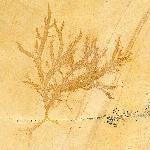 Schwämme (Porifera)