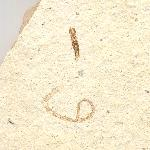 Wulfia frickhingeri