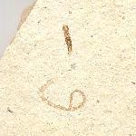 Ringelwürmer (Annelida)