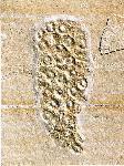 Verrucocoelia sp.