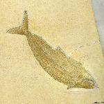 Pholidophorus elongatus WAGNER