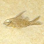 Propterus microstomus