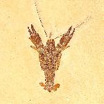 Palaeastacus sp.