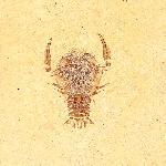 Cycleryon elongatus
