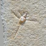 Spiniloma spinosa