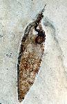 Plesioteuthis sp.