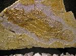 Macrosemius rostratus