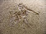Pterodactylus sp.