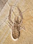 Pseudastacus muensteri