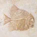 Turbomesodon relegans
